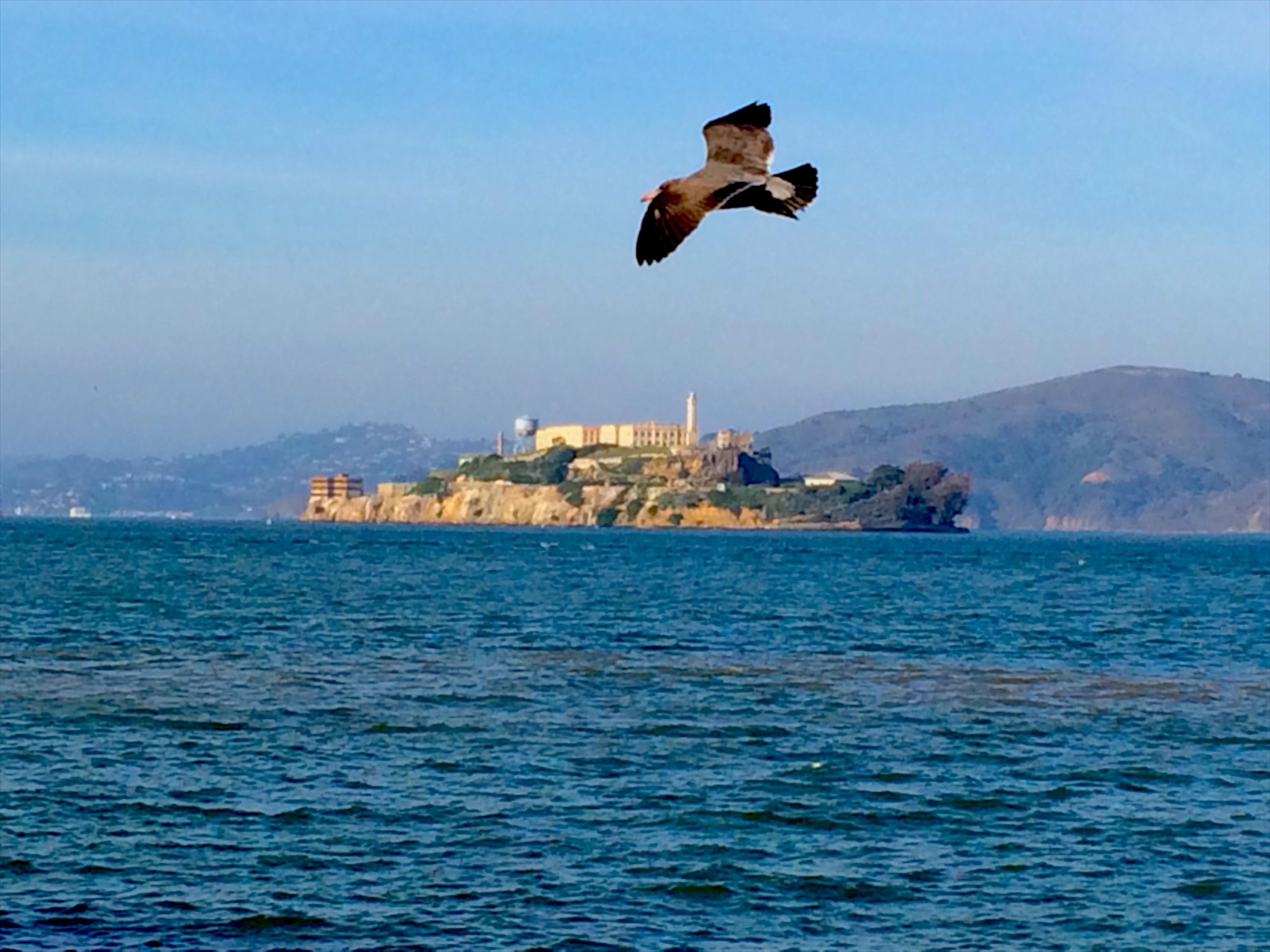 Alcatraz Bird